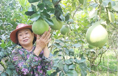 Lạ Vĩnh Long: Gây vườn bưởi Năm Roi được 5 năm nhưng không có trái